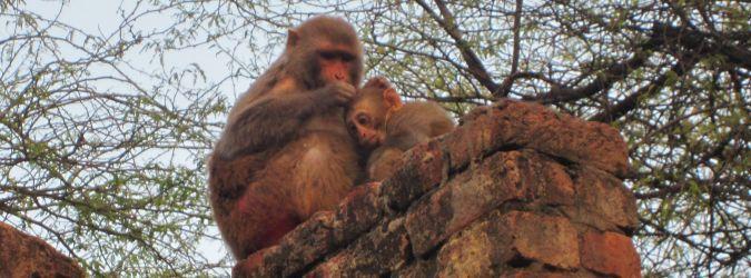 Agra małpy