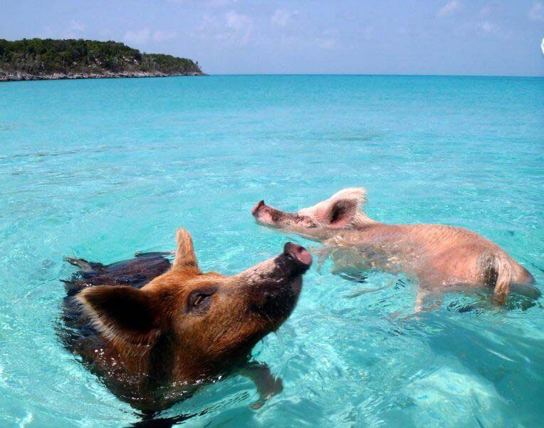 Big Major Spot na Bahamach - świńska plaża